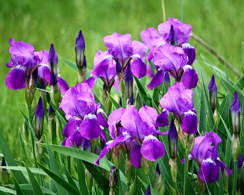 Iris are a blooming